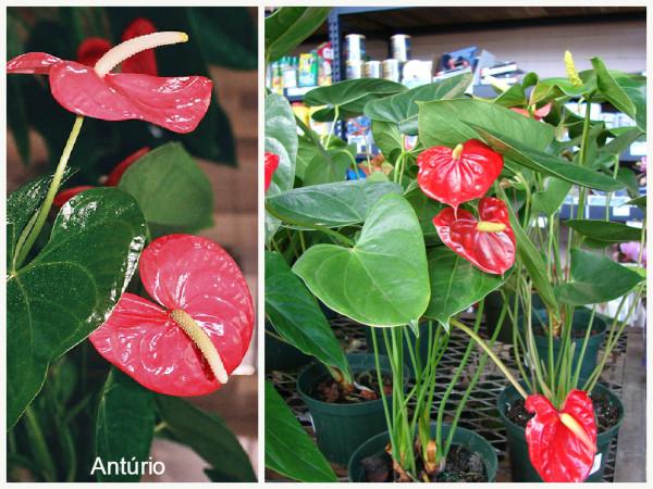 plantas que filtram o ar - Antúrio