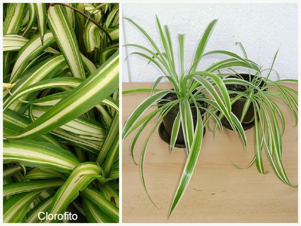 plantas que filtram o ar - clorofito