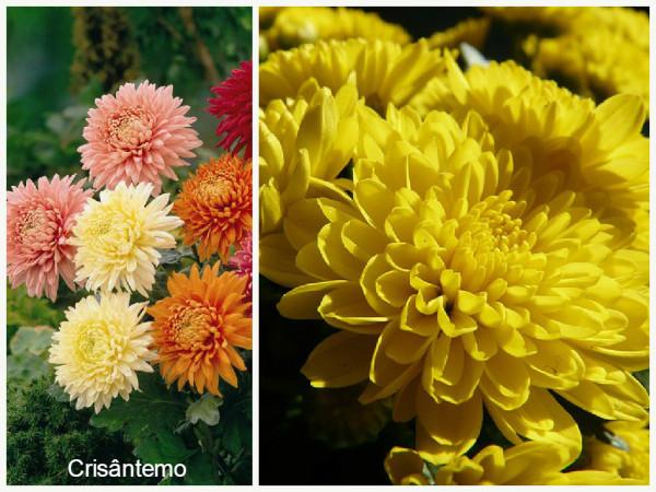 Plantas que filtam o Ar -crisantemo