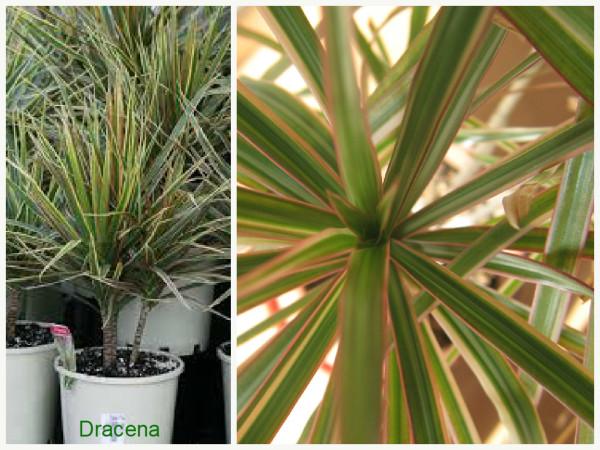 Plantas que filtram o ar - Dracena