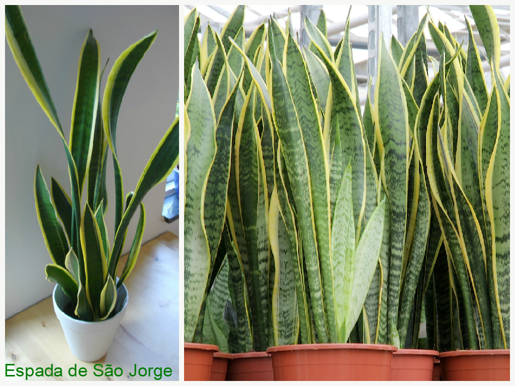 plantas que filtram o ar - espada de são Jorge