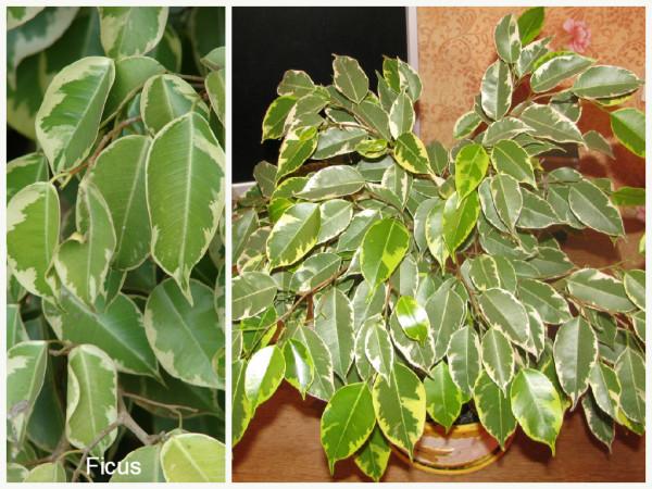 Plantas que filtam o Ar - - ficus