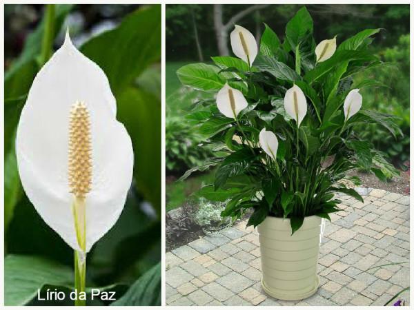 Plantas que purificam o Ar -Lírio da Paz
