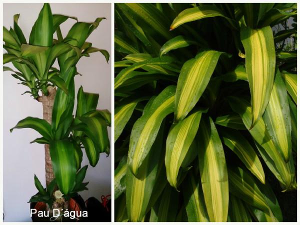 plantas que filtram o ar- Pau Dagua