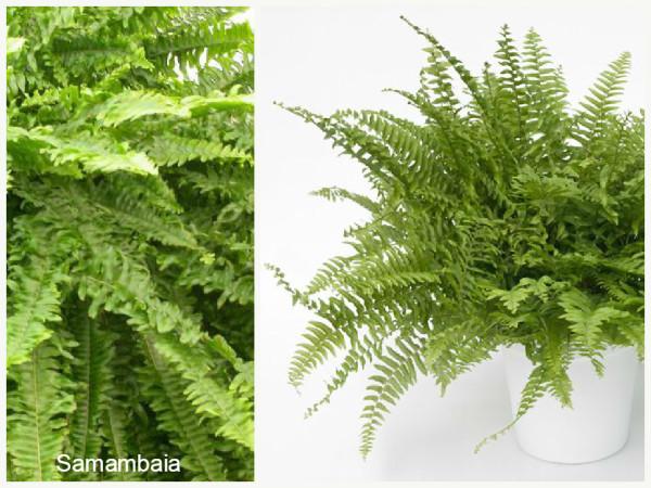 Plantas que filtram o Ar Samambaia