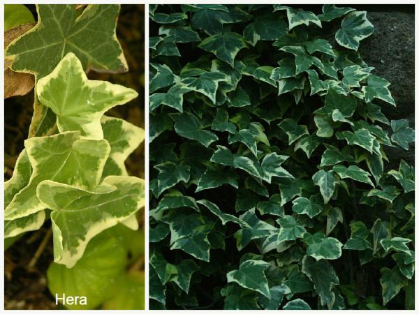 Plantas que filtam o Ar - Hera