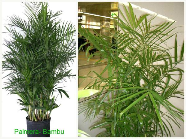 Plantas que filtam o Ar - Palmera Bambu