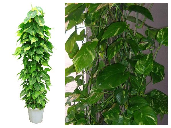 Plantas purificadoras Philodendron