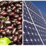 Fruta pode tornar painéis solares mais baratos e ecológicos